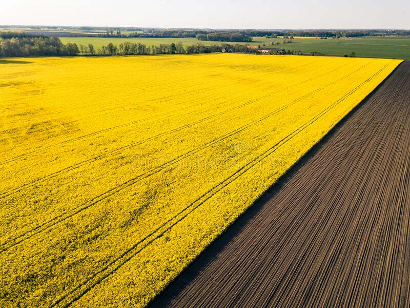 Drone view above yellow colza rape fields, agriculture concept from drone perspective royalty free stock photo