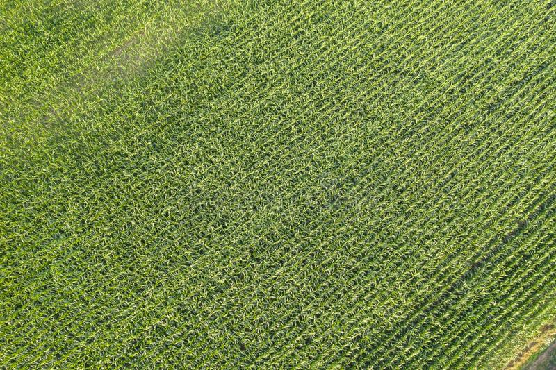 Drone view of the corn field stock image