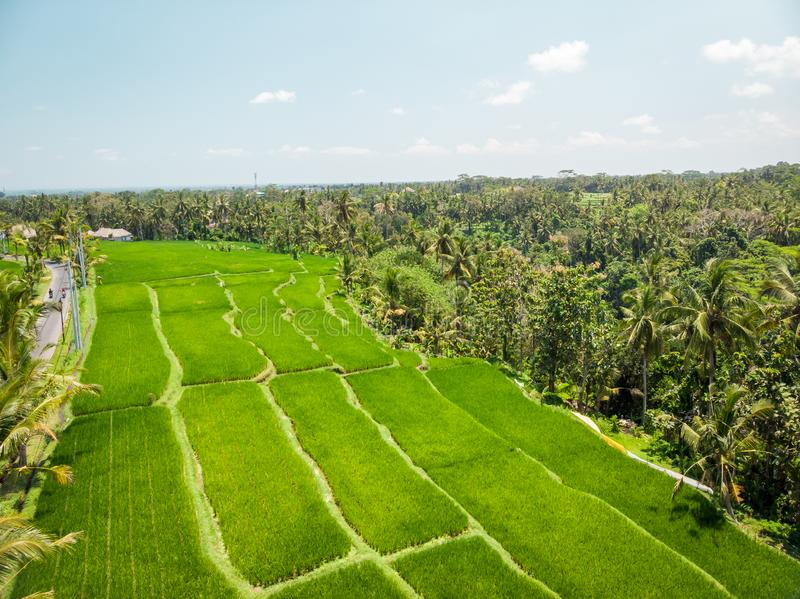 Drone view of rice plantation on bali island with path to walk around and palms. Indonesia stock photography