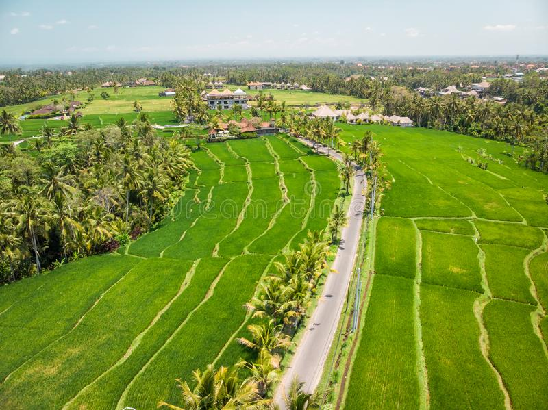 Drone View Of Rice Plantation On Bali Island With Path To Walk Around And Palms. Free Public Domain Cc0 Image