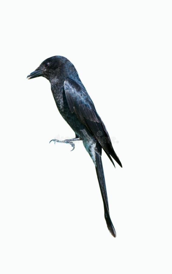 Drongo negro fotografía de archivo