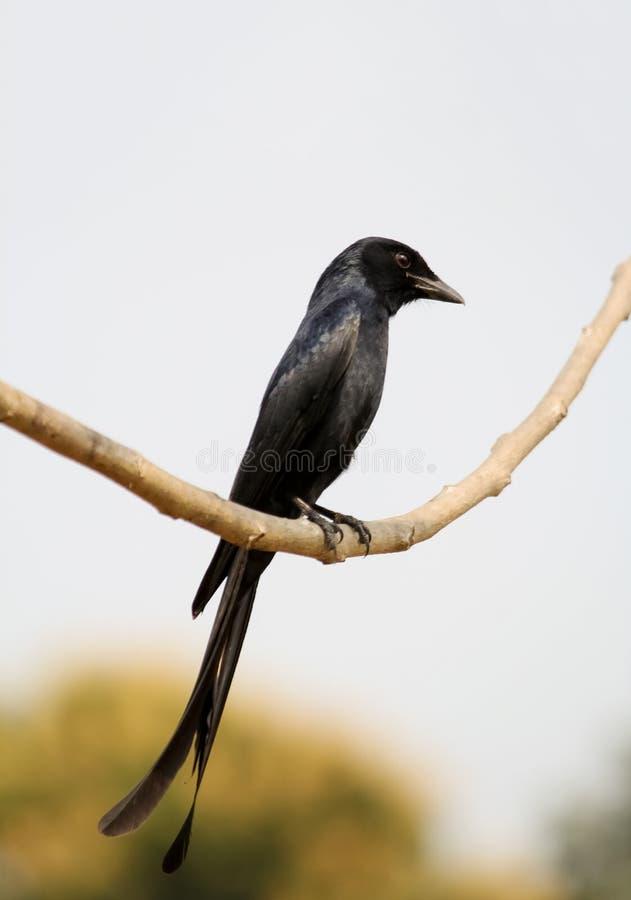 Drongo negro Dacca fotografía de archivo