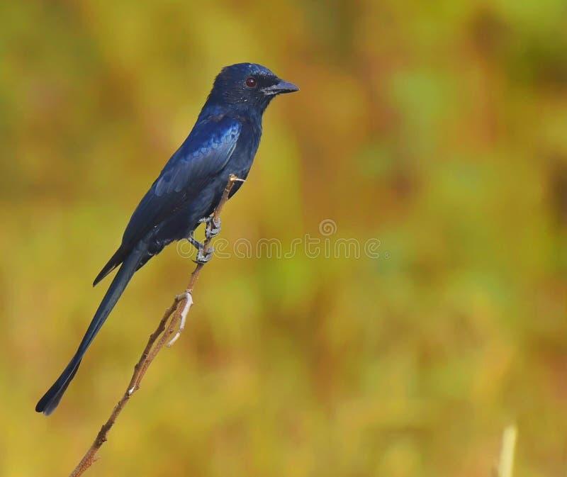 Drongo negro del pájaro fotografía de archivo libre de regalías