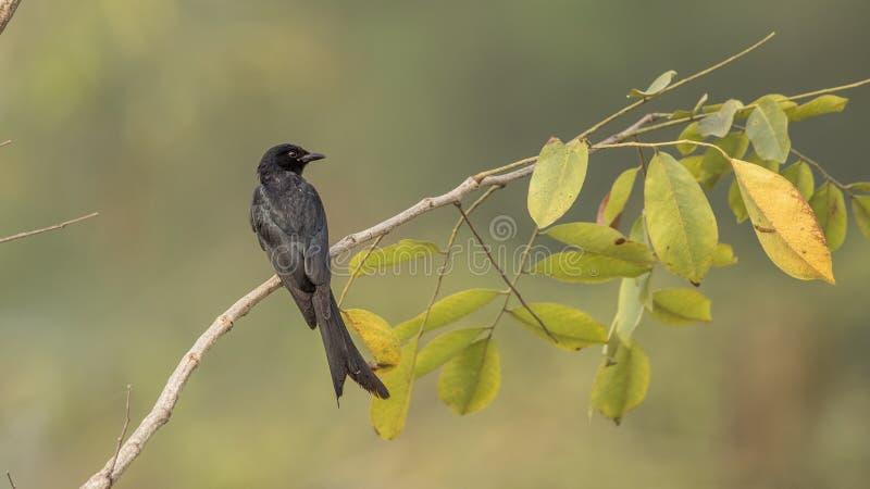 Drongo negro en rama de árbol foto de archivo