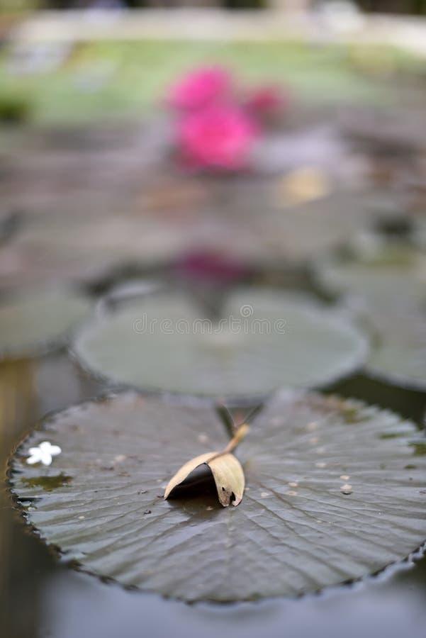 Download Droog Blad Op Lotusbloemblad Met Bloeiende Roze Lotusbloembloemen Stock Foto - Afbeelding bestaande uit growing, boedha: 107708376