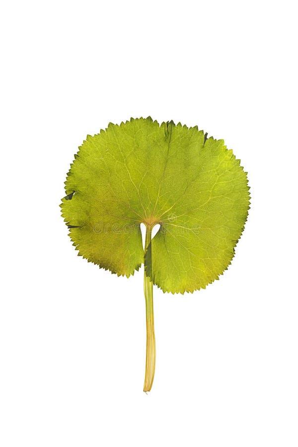 Droog bladgroot hoefblad voor een geïsoleerd herbarium, stock fotografie