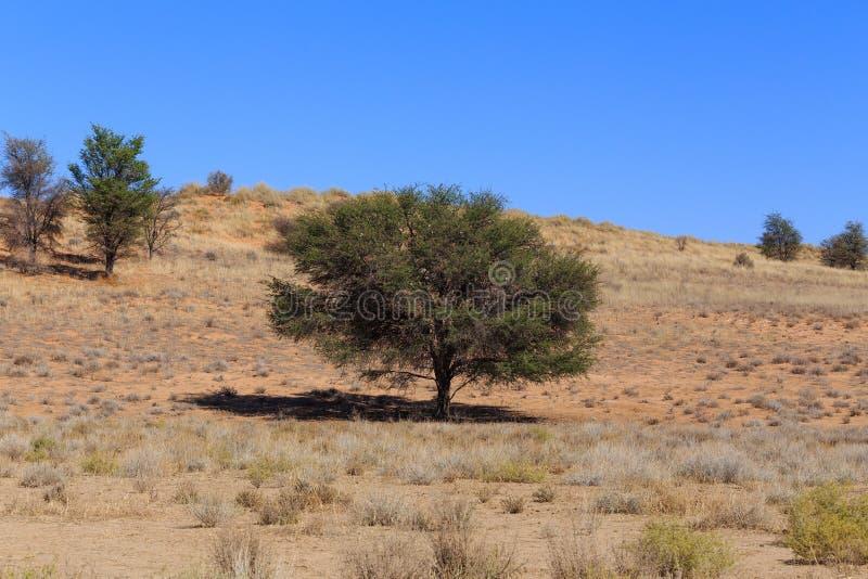 Droog de woestijnlandschap van Kalahari, Kgalagady, de safariwildernis van Zuid-Afrika stock fotografie