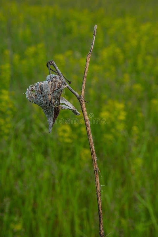 Droog en dood milkweed zaadpeul royalty-vrije stock foto