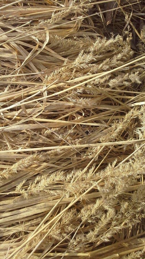 Droog gras, hooi, stro, warm pring, de lente, kleur stock afbeelding