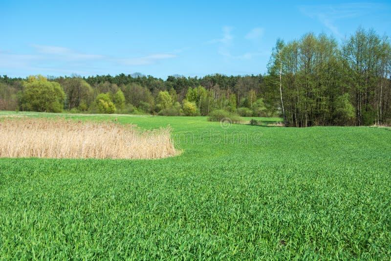 Droog gras op een groot groen gebied, een bos en blauwe hemel stock fotografie