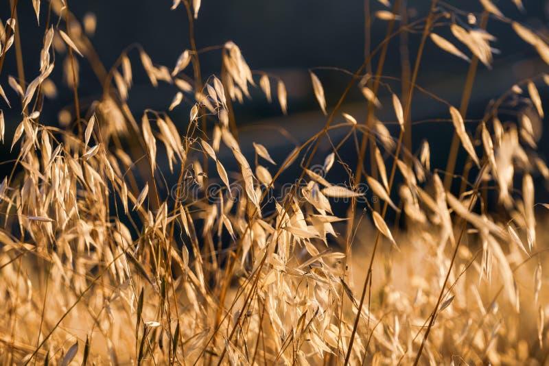 Droog Havergras die op het zonsonderganglicht glanzen; Het havergras wordt beschouwd in Californië als invasief royalty-vrije stock foto's