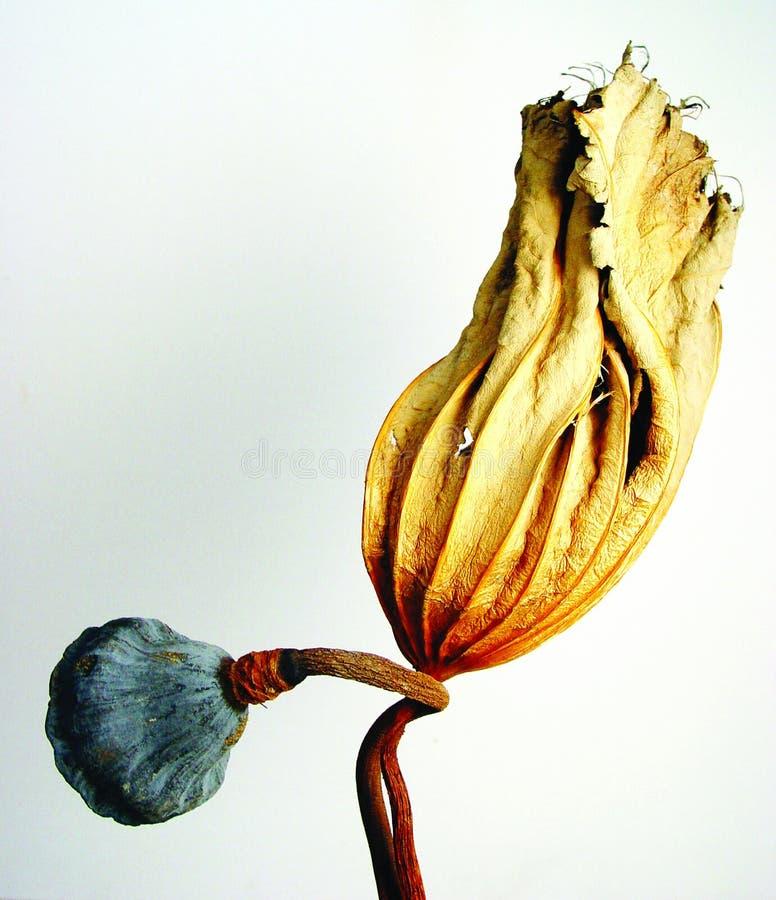 Droog lotusbloemblad stock fotografie