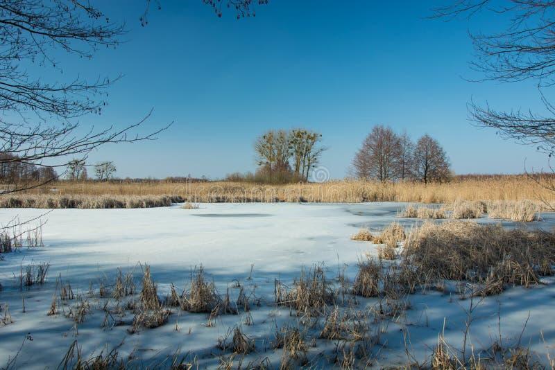Droog riet in een bevroren meer Bomen op de horizon en de blauwe hemel royalty-vrije stock fotografie