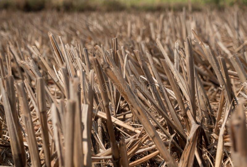 Droog rijststoppelveld in landbouwgrond na oogst royalty-vrije stock fotografie
