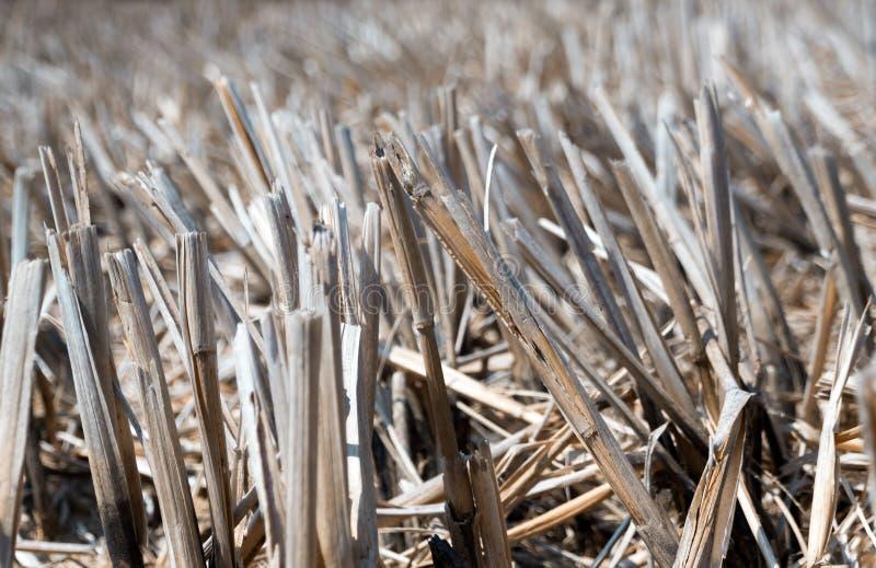 Droog rijststoppelveld in landbouwgrond na oogst stock foto's
