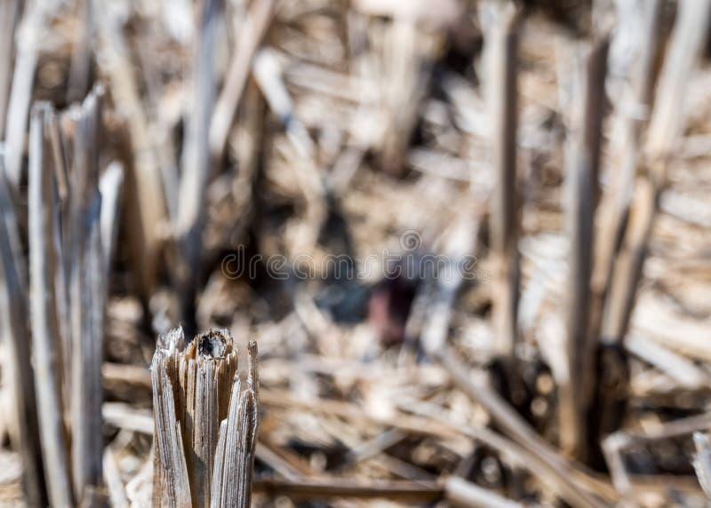 Droog rijststoppelveld in landbouwgrond na oogst royalty-vrije stock afbeeldingen