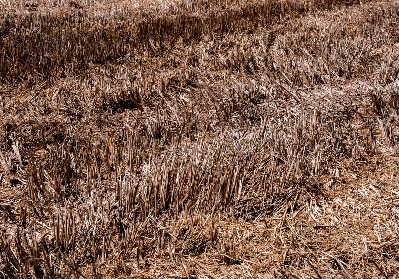 Droog rijststoppelveld in landbouwgrond na oogst stock foto