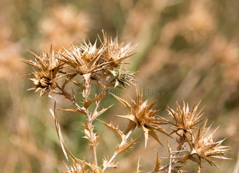 Droog stekelig gras in openlucht stock fotografie