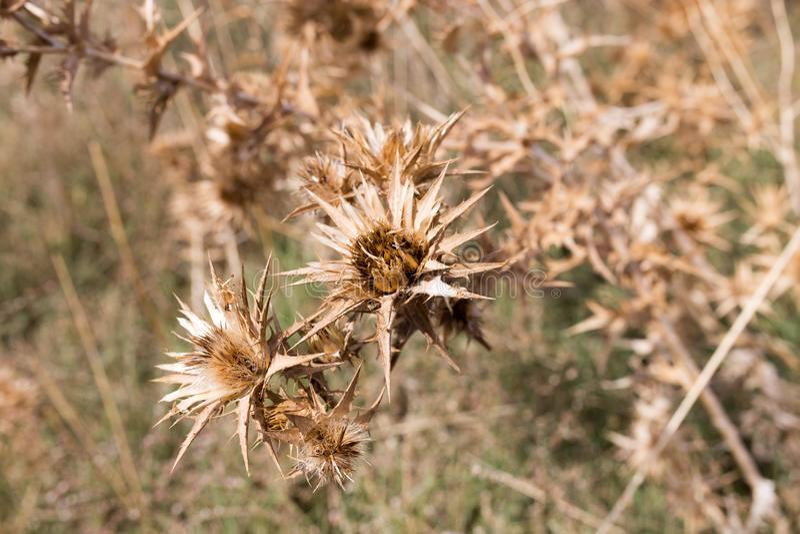 Droog stekelig gras in openlucht stock afbeeldingen