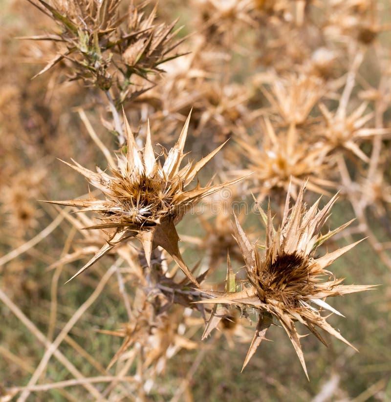 Droog stekelig gras in openlucht stock foto's