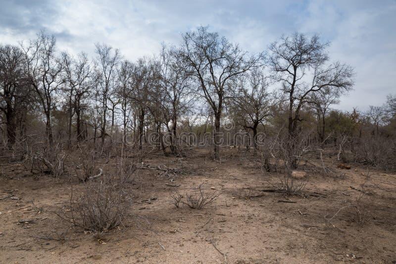 Droogte Afrikaanse Savanne met Dode Bomen, Kruger, Zuid-Afrika stock foto's