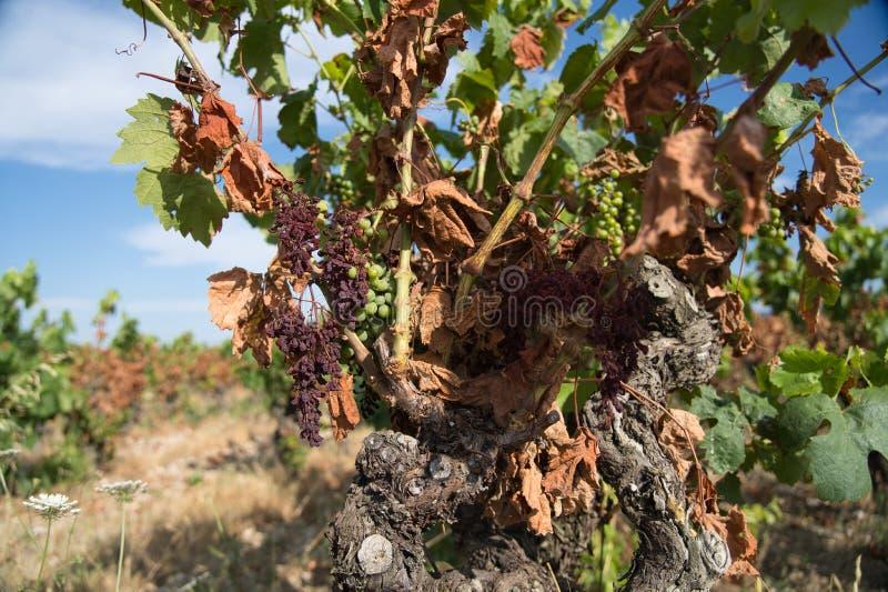 Droogte op wijngaarden in het zuiden van Frankrijk royalty-vrije stock foto