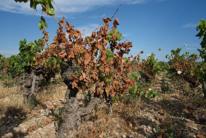 Droogte op wijngaarden in het zuiden van Frankrijk stock afbeelding