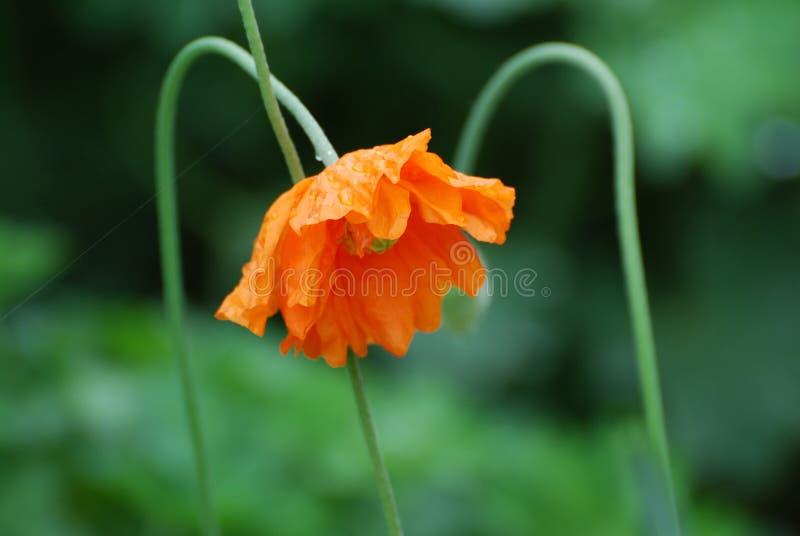 Drooping Orange California Poppy Flowers. Blooming orange California poppy flower blossom in a garden stock photo