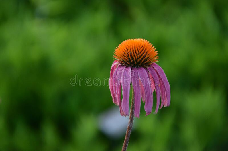 Droopy Cute Purple Cone Flower. Unusual fun image of a purple cone flower in  wit droopy bloom against a dark green background. copy room royalty free stock photography