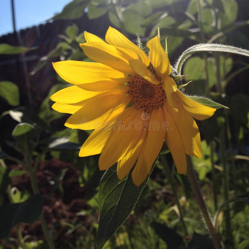 Droopy little sunflower royalty free stock images
