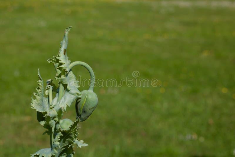 Droopy vallmoblommaknopp mot grön gräsmatta med kopieringsutrymme - bild royaltyfri fotografi