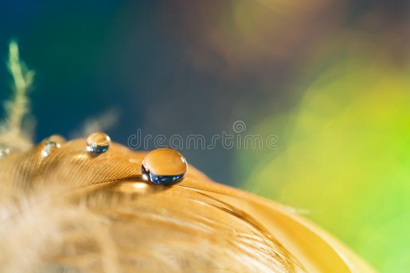 Drop on the bird`s pie. Golden feather with a drop on a green background. stock photography