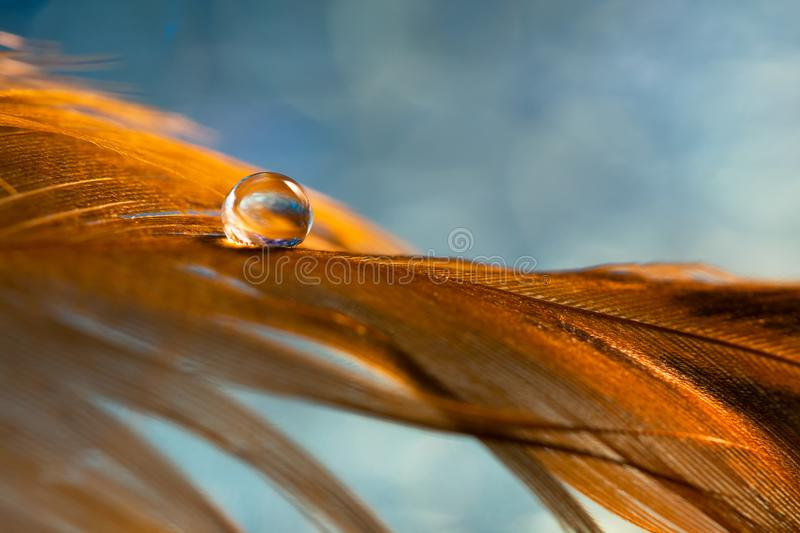 A drop of dew on a Golden bird`s feather. Brown feather on the blue background. Selective focus royalty free stock photo