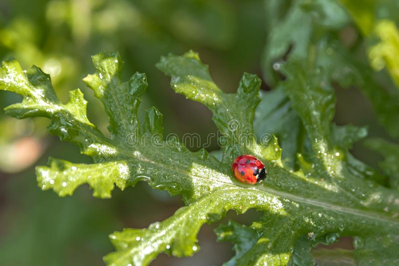 A drop of dew on a ladybug sitting on a green leaf of a thistle royalty free stock photos