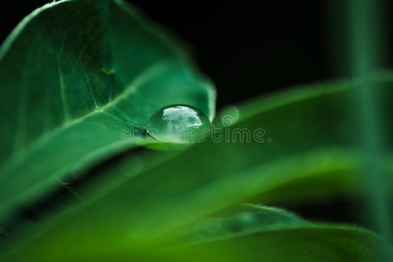 A drop of dew on a sheet in the forest. Natural background with green leaves, macro. Cloudy weather royalty free stock images