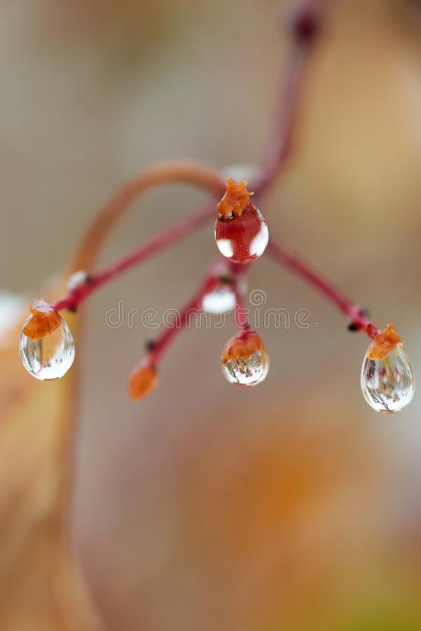 Raindrops on a branch of mountain ash. A drop or droplet is a small column of liquid, bounded completely or almost completely by free surfaces stock photography