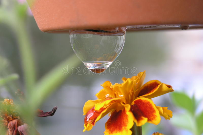 A drop hanging over the marigold flower stock images