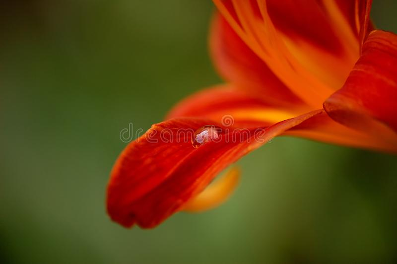 Drop on Lily royalty free stock photography