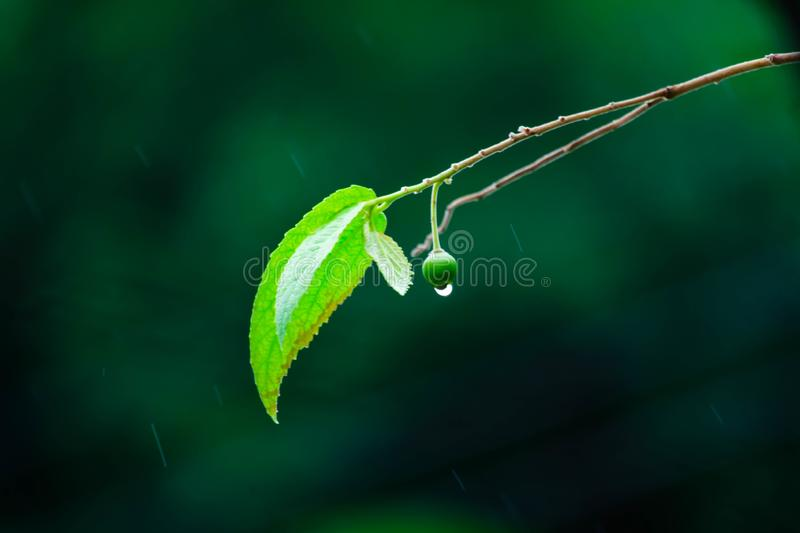 Drop rain on fruit after rain and droplets of rain is background. Clean, closeup, cold, dark, drizzle, environment, fall, fresh, green, leaf, light, liquid stock photography
