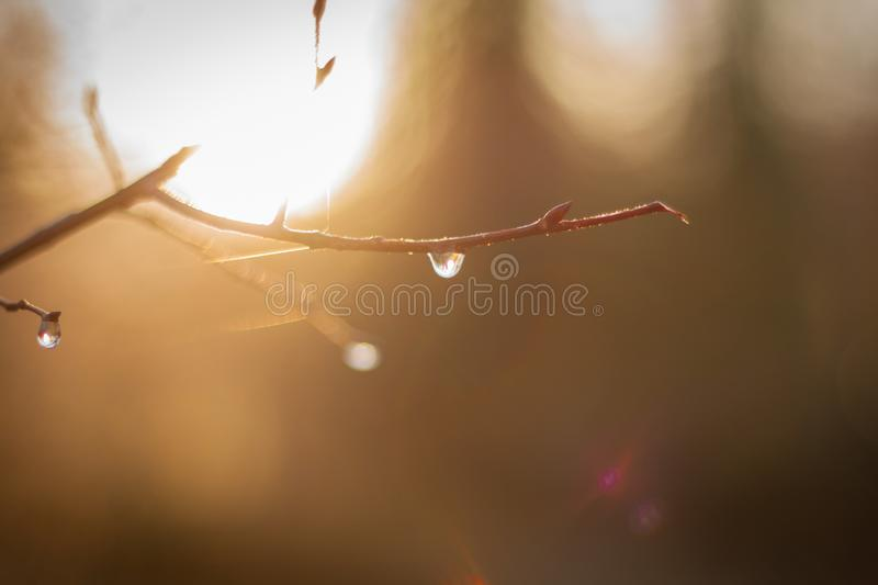A drop after the rain on a tree branch royalty free stock photo
