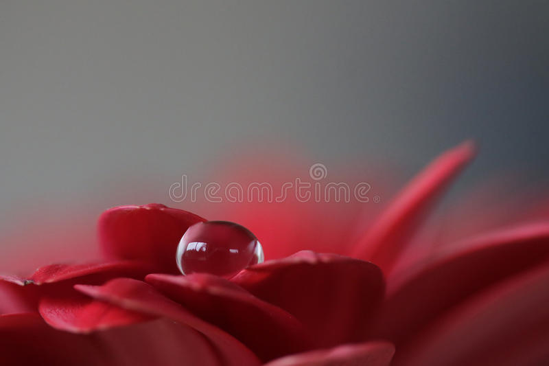 Drop on red flower petal royalty free stock photo