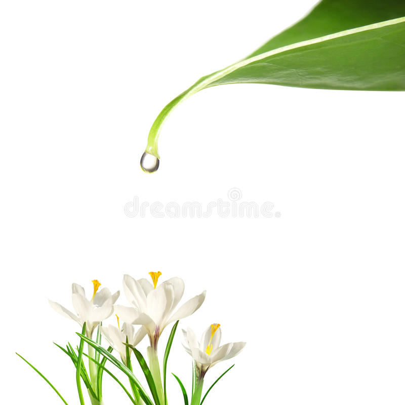 Drop of water and flowers. Drop of water falling on flowers stock images