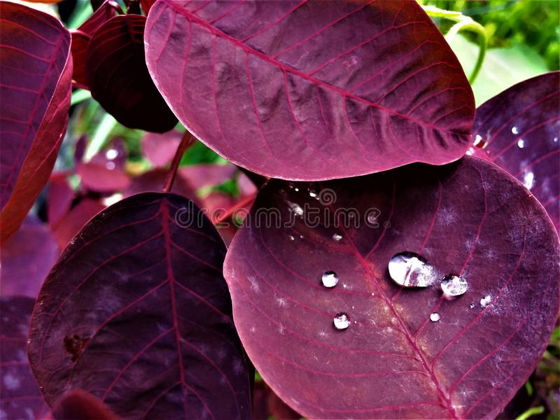 Drop of water resting on a leaf. Drop of water on dark reddish leaf after a light rain, we see how the colors of the leaf are ed in the foreground serving as a royalty free stock photo