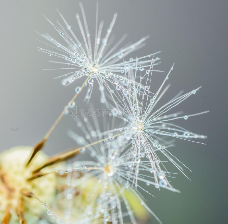 Drop of water on the seed of a dandelion flower on a light green and blue background close-up macro. A gentle airy artistic image stock photo
