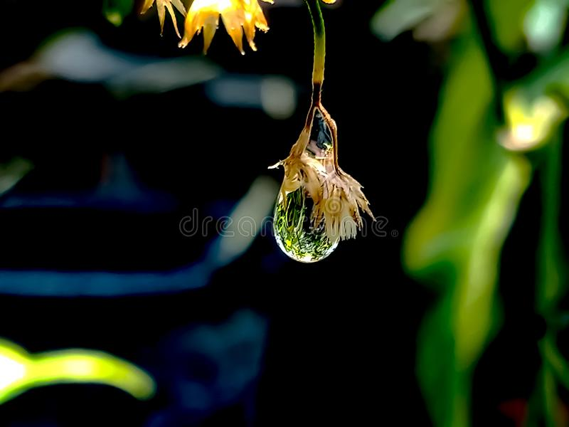 Drop of water in a small, dry flower. Drops, waterdrop, nature, natural, outdoor, outdoors, beauty, beautiful, garden, dew, raindrop royalty free stock photography