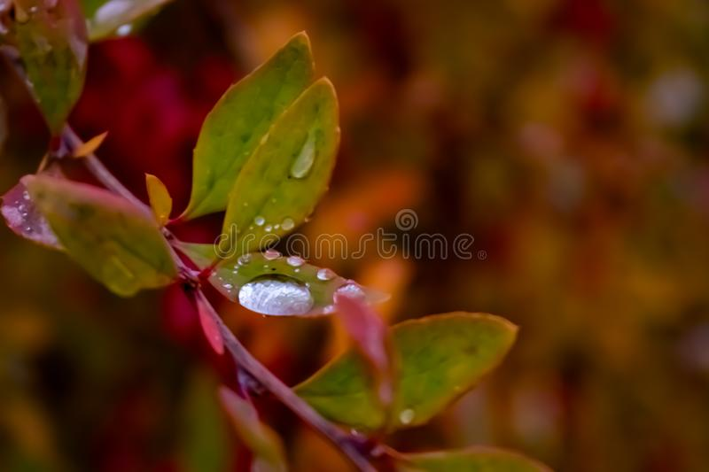 A drop of water on a tu na leaf. Amazon, rain stock image