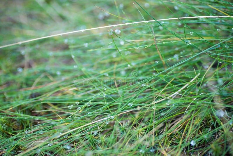Dropd da água no foco seletivo macro da grama fotografia de stock