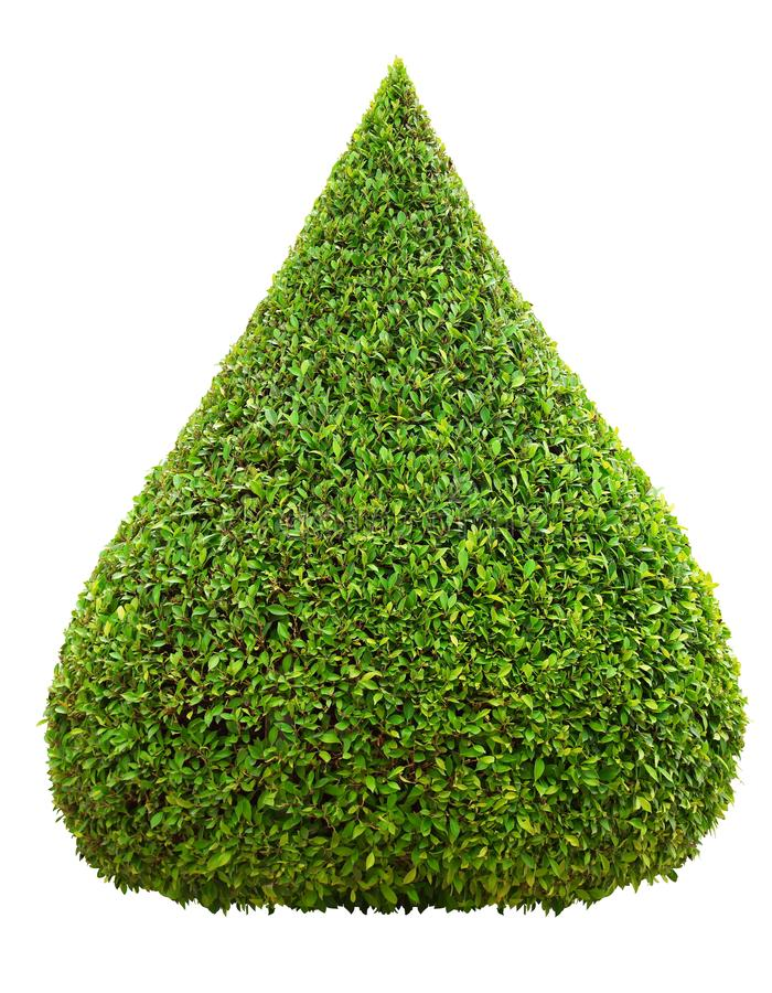 Droplet shape trimmed topiary tree isolated on white background for formal Japanese and English style artistic design garden. Droplet shape topiary tree isolated stock images