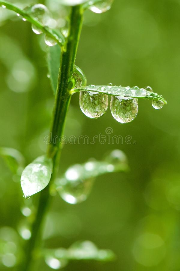 Droplets on branch. Raindrops hanging from green branch or stem in sunlight royalty free stock image