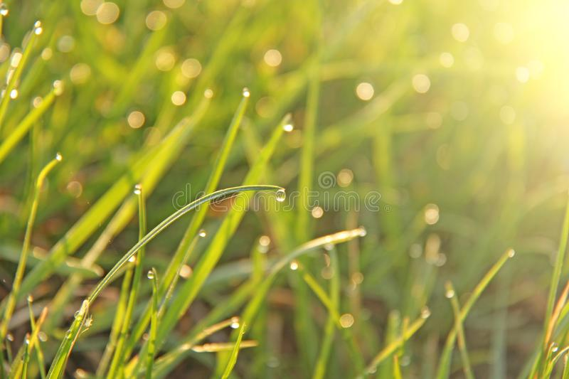 Droplets of the morning summer dew on the green grass.  stock image